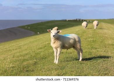 White sheep on sea dyke near the Wadden Sea in The Netherlands