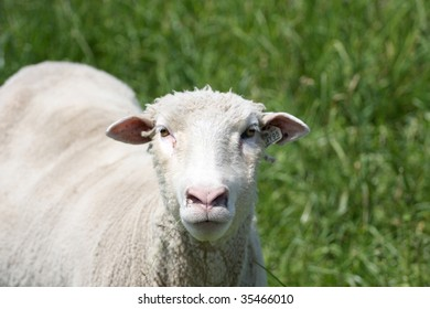 White Sheep in pasture