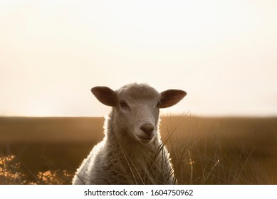 White sheep portrait in the morning light. Lamb staring at camera. German sheep in sunlight, on Sylt island, at north sea, Germany. Sheep contemplate.