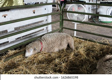 White sheep rest in a pen at a county fair