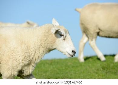 White Sheep running  on pasture