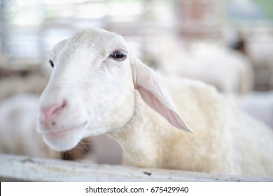 White sheep in a stable looking face on blurred background .
