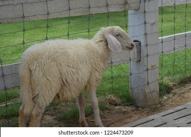 White sheep standing animal litter.