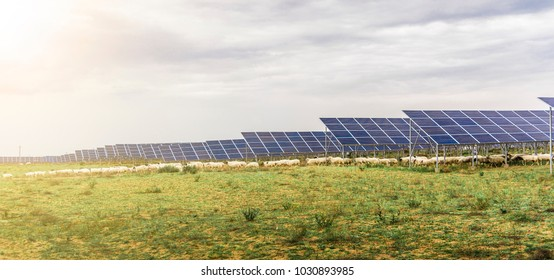 White sheep under solar panels