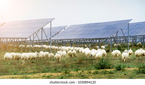 White sheep under solar panels