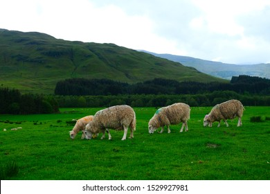 White sheeps grazing on grassland