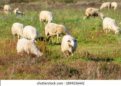 White sheeps on field in Sardinia