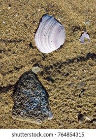 White shell and rock with barnacles on a sandy beach in Vancouver, BC