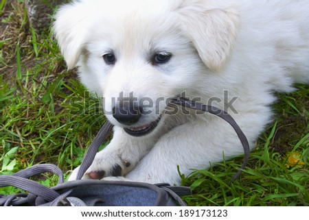 White Shepherd Berger Blanc Suisse Puppy Stock Photo Edit Now