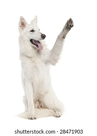 White Shepherd Dog (1 year old) in front of a white background