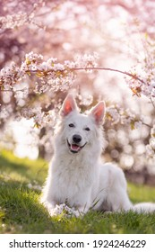 white shepherd dog lying under cherry blossoms in spring with sunshine rwith a blossoming cherry branch