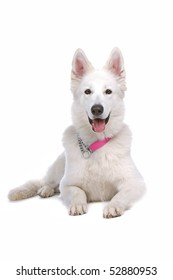 white shepherd isolated on a white background