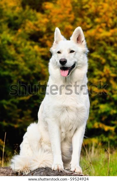 White Shepherd Weisser Schweizer Berger Blanc Stock Photo Edit Now 59524924