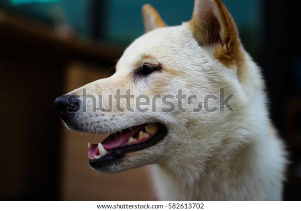 White Shiba Dog