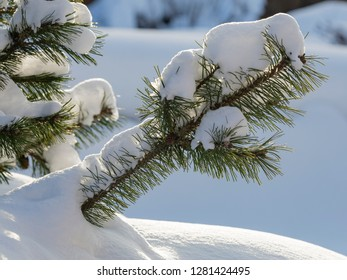 white shiny fluffy snow on a green pine and sunlight