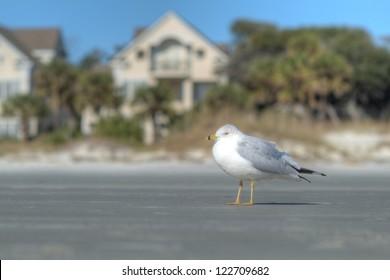 A white shore bird on the sand near a row of luxury Atlantic Ocean beach houses in Hilton Head, SC.