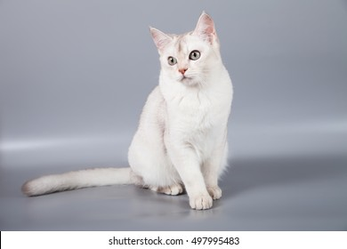 white short hair Burmilla breed cat sit at grey background