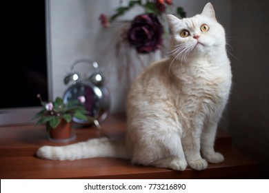 White shorthair British cat with bright yellow eyes. British cat breed sitting on table with a mirror in the background alarm clock. White british cat looking up. Greeting card with british cat.