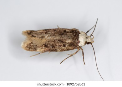 A white shouldered house moth - Endrosis sarcitrella a common house pest that breeds all year round and it is fond of grain, cereals, wool and other fabrics