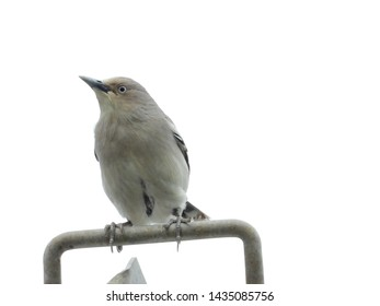White shouldered starling is gregarious which flocks with other starlings.It perches on high points like tree top and cable.Their migratory route remains within the temperate region in South-East Asia