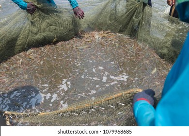 White shrimp in the net. Workers are catching shrimp by the net, dividing some catch from the pond to reduce the density.