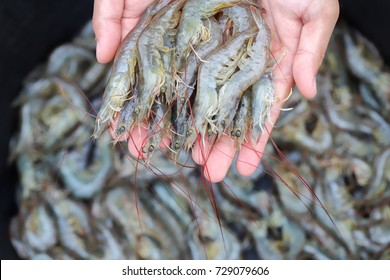 White shrimp on the hands, on the background of black basin and shrimp, Shrimp random concept for health check and size.