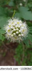 white shrubby flower