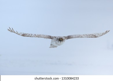 White Siberian goshawk,  Accipiter gentilis albidus,  bird flying tightly over snow surface, looking directly at camera. rare bird of prey with bright yellow eyes. Kamchatka Peninsula.