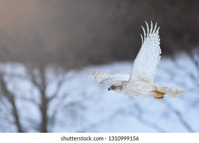 White Siberian goshawk,  Accipiter gentilis albidus, side view on rare, almost white hawk, bird of prey flying in winter landscape. Siberia landscape, Kamchatka Peninsula.