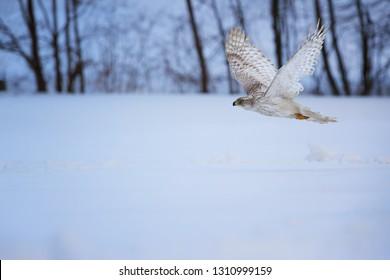 White Siberian goshawk,  Accipiter gentilis albidus, side view on rare bird of prey flying in winter landscape. Siberia landscape, Kamchatka Peninsula.