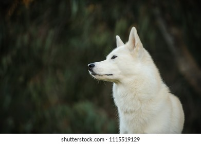 White Siberian Husky dog outdoor portrait in nature with dark background