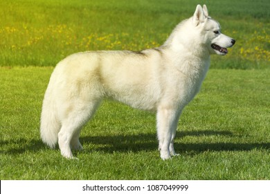 White Siberian Husky female dog is standing on meadow in the spring sun