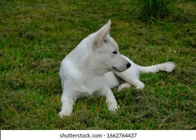 White Siberian Husky Puppy Miska 4 Months Old - Shutterstock ID 1662764437