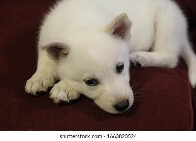 White Siberian Husky Puppy Miska At Weeks Old - Shutterstock ID 1663823524