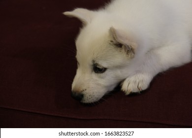 White Siberian Husky Puppy Miska At Weeks Old - Shutterstock ID 1663823527