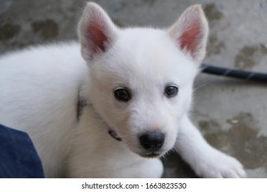 White Siberian Husky Puppy Miska At Weeks Old - Shutterstock ID 1663823530