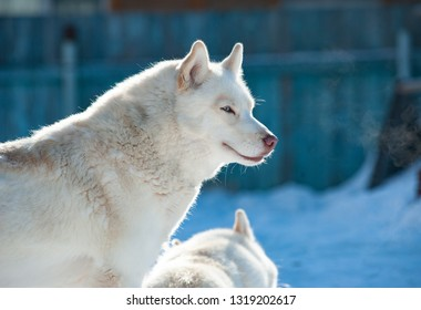 White siberian husky in winter portrait