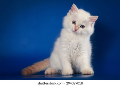 White Siberian kitten sitting and looking at the camera on a blue background