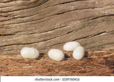 white silk cocoons put on decay wood