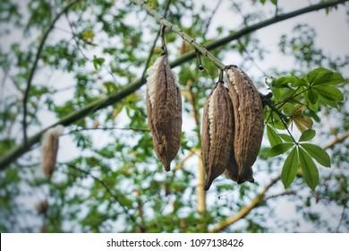 White silk cotton fruit dry on the tree. (Ceiba, Kapok or Java cotton)