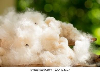 White silk cotton tree, Ceiba, Kapok, Java cotton, Java kapok, Silk-cotton  on natural background.