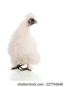 White Silkie isolated over white background