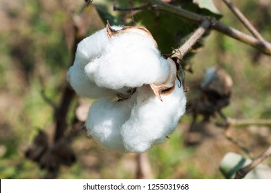 The white silky boll of the cotton crop