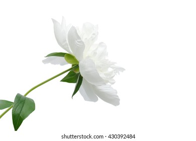 White single peony flower isolated on white with clipping paths