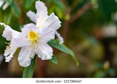 White single Rhododendron Scopulorum flower
