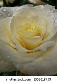 White single rose in bloom with water droplets on the petals