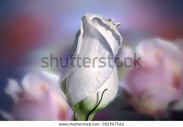 White single rose with pink roses on the blue background