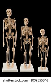 White skeleton model isolated on dark background, Family skeleton, Adult and child skeleton.