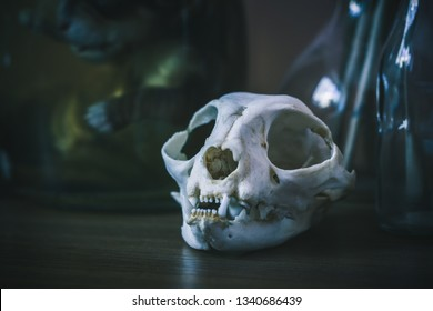 White skull of a cat on the table. A can of embalmed puppy in the background.