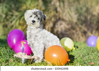 white small dog celebrating his birthday party in the park with balloons